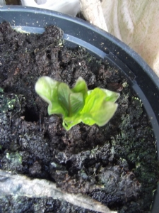 Atropa belladonna up for grabs