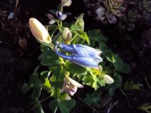Aquilegia 'Spring Magic'