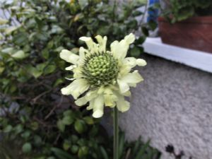 Cephalaria gigantica