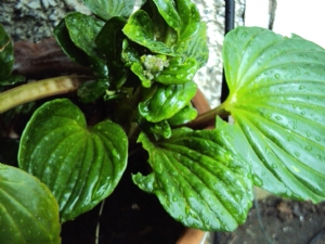 Myosotidium hortensia (Chatham Island Forget-me-not)