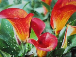 Awaiting Calla 'Flame'