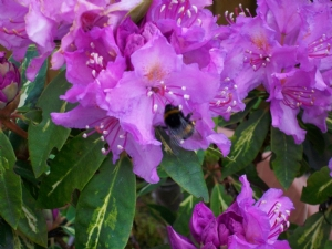 rhododendron 'gold flimmer' with bee
