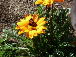 Butterfly on Gazania