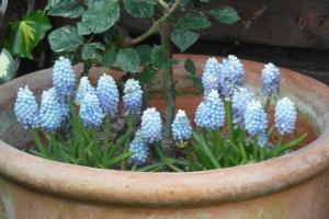 Muscari 'Blue magic'