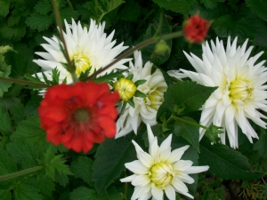 Dahlias from 2009- and Geum