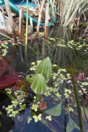 Clematis aquaticus 'Miss Bateman'.