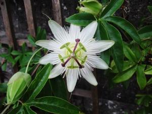 Passiflora 'Constance Elliot'
