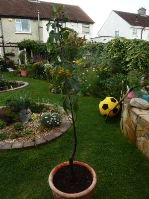 Malus 'Red Sentinel' (Pot NOT included)