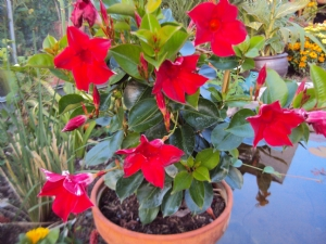 Dipladenia Sundaville Red