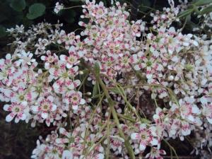 Saxifraga longiflora 'Lissadell'