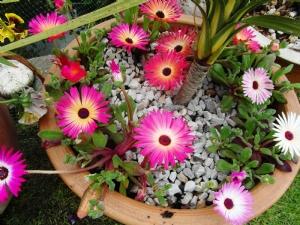 Mesembryanthemums in the sunshine