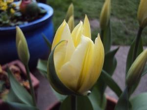Tulip 'Concerto'