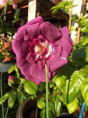 Rosa 'Rhapsody in Blue' today