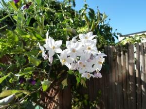 Solanum loxum 'Alba'