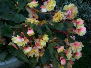 Begonias in a Pot!