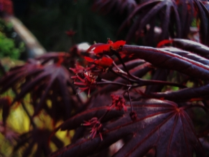 flower on Acer palmatum 'Trompenborg'