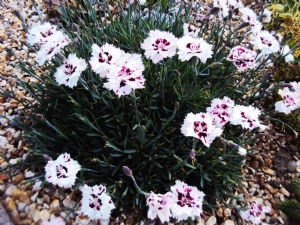 Dianthus in Alpine Circle today