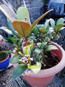 Skimmia up for grabs