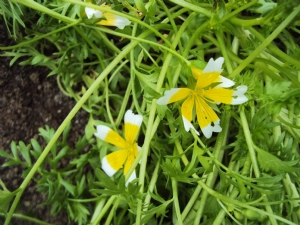 Limnanthes (Poached Egg Plant)