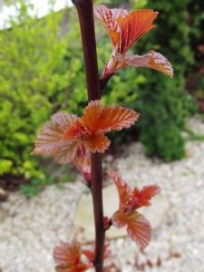 Physocarpus opulifolius 'Lady in Red'