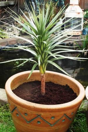 Cordyline australis 'Karo Kiri' potted up