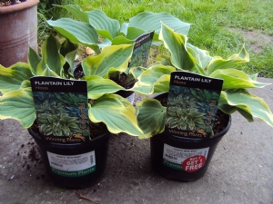Hosta 'Blue Angel' and 'Wide Brim'