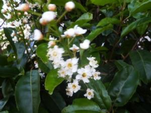 Prunus?