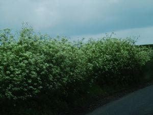 Cow Parsley en masse