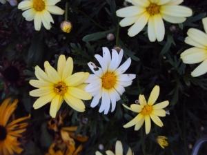 White one amongst yellow!