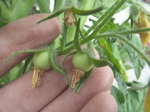 Producing tomatoes against all odds