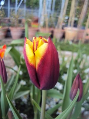 Final Tulip