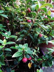 Myrtus ugni 'Butterball'