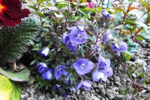 Veronica peduncularis 'Georgia Blue