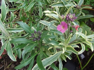 Erysimum linifolia variegata