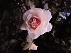 Climbing rose 'Penny Lane'