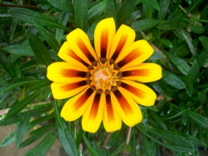 Gazanias with rounded petals!