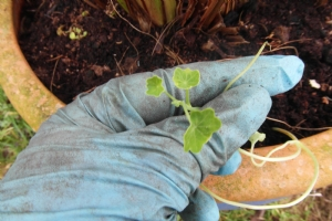 Nasturtium seedling in February