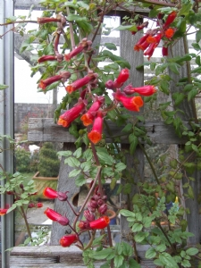 Greenhouse Eccremocarpus 'Tresco Hybrids'