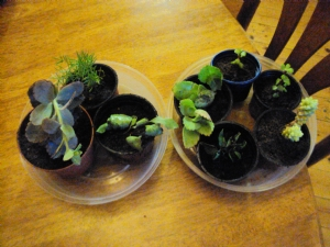 Trish's cuttings finally potted up!