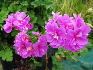 Trailing geranium (Thanks, Kate)