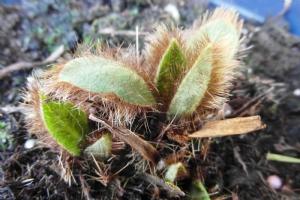 Mecanopsis grandis 'Lingholm'