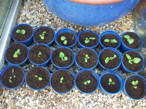 Foxgloves potted on!
