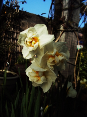 Narcissi 'Bridal Crown'