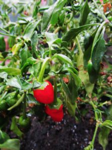 Chillipepper 'Apache'