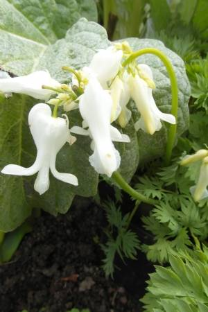 Dicentra 'Ivory Heart'