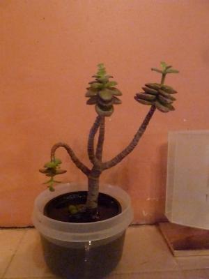 Euphorbia?