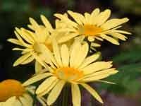 Anthemis tinctoria 'E.C. Buxton'(web photo)