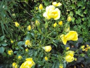 'Flower Carpet Gold'