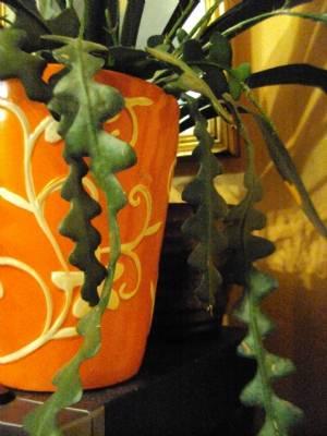 Ric-Rac/Zig-Zag Cactus/ Orchid Cactus