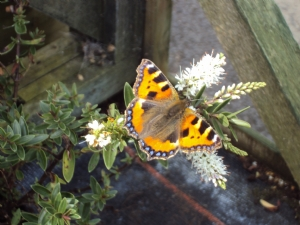 Butterfly at last!